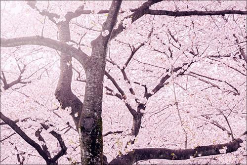 【エロ体験談】女子が勝手に釣れた最高すぎる花見の画像1